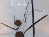 common-bur-reed