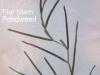 flat-stem-pondweed