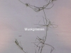 muskgrasses