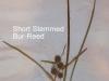 shortstemmed-bur-reed