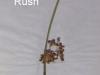 soft-rush