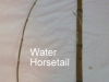 water-horsetail