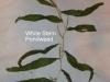 white-stem-pondweed